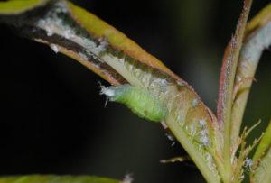 larva syrphus