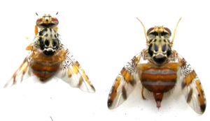 Control plaga mosca de la fruita