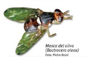 Mosca de l'oliva