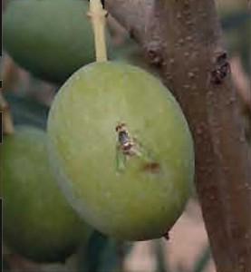 Plaga de la mosca de l'oliva