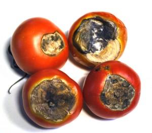Cultiu tomaquet. Necrosis tomaquetCultiu tomaquet. Necrosis tomaquet