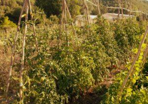 El cultiu de varietats locals en els horts, representa una gran oportunitat per assegurar la seva conservació. Font: elaboració pròpia