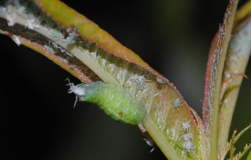 larva sirfidae