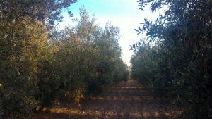 El olivar es como un bosque ordenado donde todos los elementos interactúan. Fuente: elaboración própia