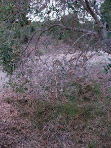 """Su nombre vulgar en castellano hace referencia a la defoliación que hace que los olivos se """"pelen """". Fuente: elaboración propia"""