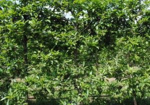 Los manzanos tienen altas necesidades de horas frío. Fuente: Elaboración propia