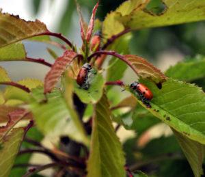 Mariquitas consumiendo néctar extrafloral. Los daños pueden llegar a ser considerables. Fuente: Elaboración propia