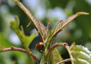 Los nectarios son abundantes. A simple vista se ven en el peciolo y en los márgenes de las hojas. Fuente: Elaboración propia