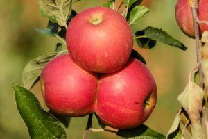 Manzanas sanas